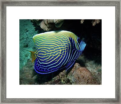 Emperor Angelfish, Red Sea 1 Framed Print