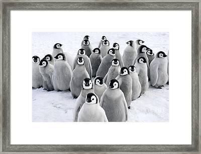 Emperor Penguin Chicks Framed Print