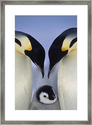 Emperor Penguin Family Framed Print by Tui De Roy