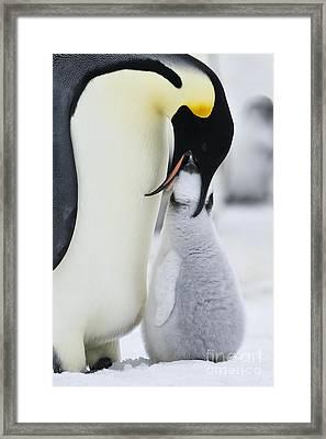 Emperor Penguin Feeding Chick Framed Print by Jean-Louis Klein & Marie-Luce Hubert