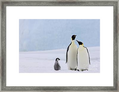 Emperor Penguins And Chick Framed Print