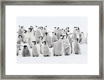 Emperor Penguins, Group Of Chicks. Framed Print by Martin Ruegner