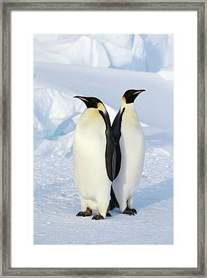 Emperor Penguins, Weddell Sea Framed Print