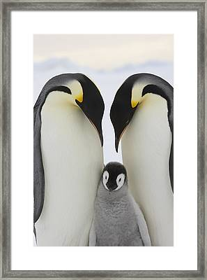 Emperor Penguins With Young Chick Framed Print by Sue Flood