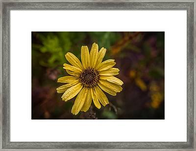Encelia  Framed Print