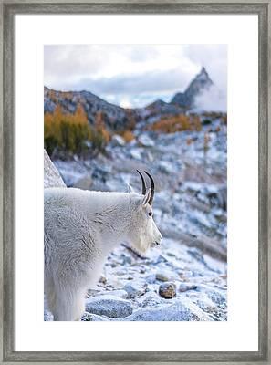Enchantments Local Goat Resident Framed Print