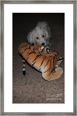Endangered Tiger 2 Framed Print by Anne Rodkin