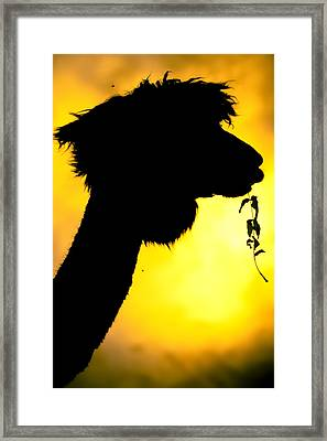 Endless Alpaca Framed Print