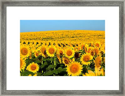 Endless Sunflowers Framed Print by Catherine Sherman