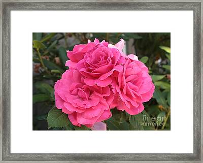 Energizing Pink Roses Framed Print by Carol Groenen