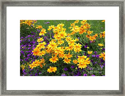 Energizing Yellow Orange And Purple Flowers Framed Print by Carol Groenen