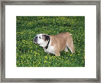 English Bulldog Framed Print by Brendan Reals