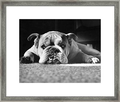 English Bulldog Framed Print by M E Browning and Photo Researchers
