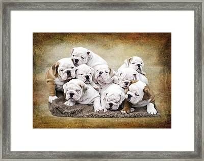 English Bulldog Pups Framed Print