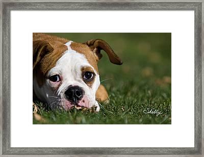 English Bulldog Framed Print by Shelly OBrien