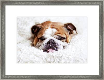 English Bulldog Sleeping In Fluffy White Blanket Framed Print by Hanneke Vollbehr