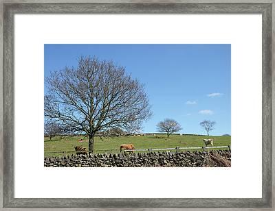 English Longhorns Framed Print