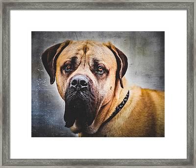 English Mastiff Dog Portrait Framed Print
