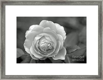 English Rose In Black And White Framed Print