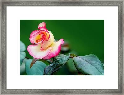 English Rose Framed Print