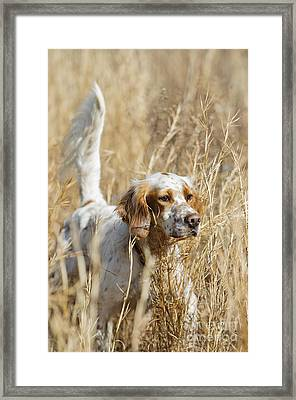 English Setter Framed Print by Chip Laughton