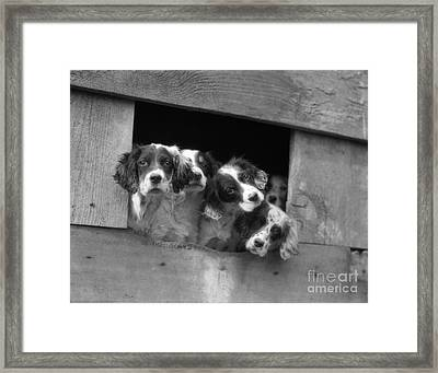 English Setter Puppies, C.1920-30s Framed Print