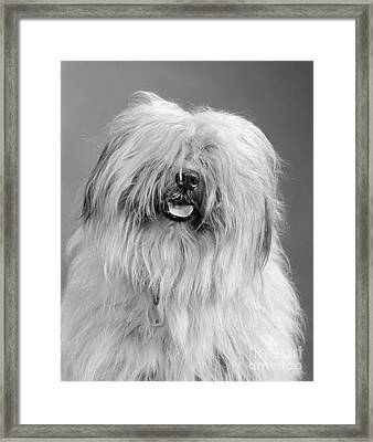 English Sheepdog, C.1960s Framed Print by H. Armstrong Roberts/ClassicStock