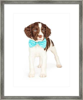 English Springer Spaniel Puppy Wearing Bow Tie Framed Print by Susan Schmitz