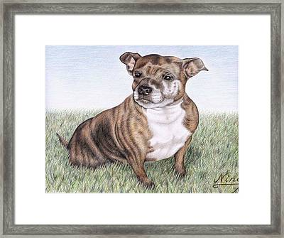 English Staffordshire Terrier Framed Print by Nicole Zeug
