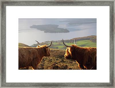 Enjoying The View - Highland Cattle Framed Print