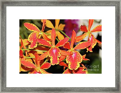 Epicatanthe Volcano Trick Paradise Orchids Framed Print