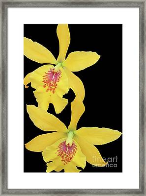 Epilaeliocattleya Don Herman Gold Rush Framed Print by Judy Whitton