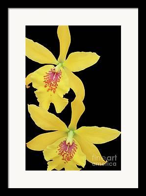 Epilaeliocattleya Framed Prints