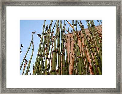 Equisetum Framed Print by Jean Booth