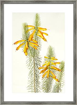 Erica Grandiflora Framed Print by Pierre Joseph Redoute