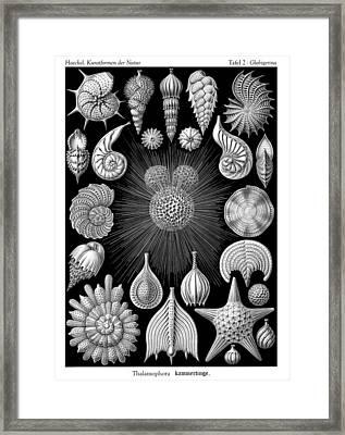 Ernst Haeckel - Thalamorpha Plate Framed Print by Ambro Fine Art