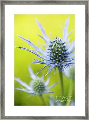 Eryngium X Oliverianum Flowering Framed Print by Tim Gainey