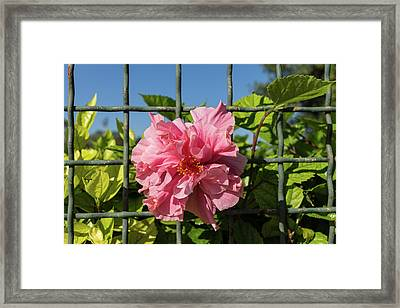 Escape Artist - Double Hibiscus Through The Fence Framed Print