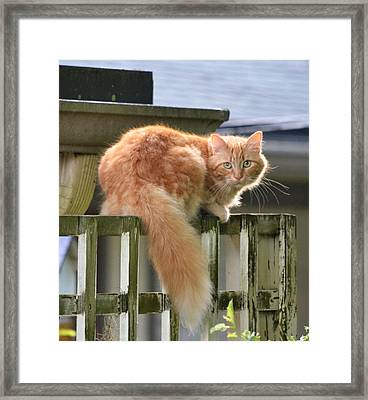 Escapee - The Orange Tabby Cat Framed Print by rd Erickson
