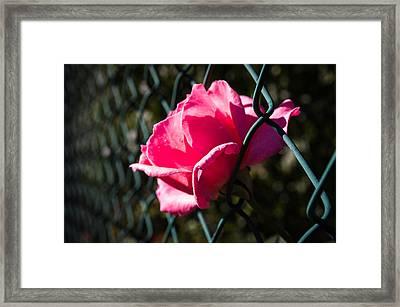 Escaping Rose Framed Print