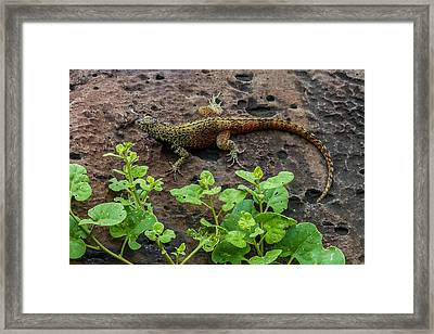 Espanola Lava Lizard Framed Print by Harry Strharsky