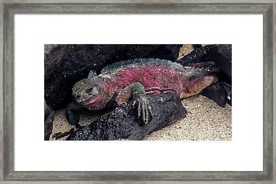 Espanola Marine Iguana Framed Print by Harry Strharsky
