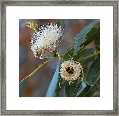Eucalyptus Bloom Framed Print by Jean Booth