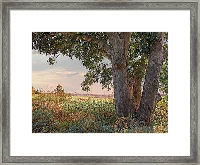 Eucalyptus Tree In Autumn Evening Light Framed Print