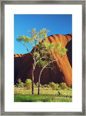 Eucalyptus Trees At Uluru Framed Print by Simon Bradfield