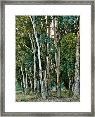 Eucalyptus Trees Framed Print