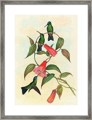 Eucephala Smaragdocaerulea  Gould's Wood Nymph Framed Print by John Gould