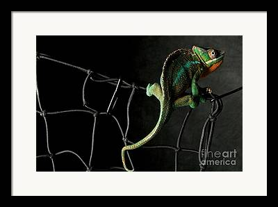 Chameleon Framed Prints