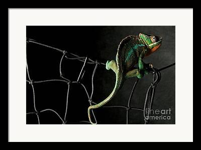 Chameleon Framed Prints