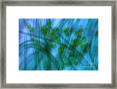Euglena Sp. And Oscillatoria, Polarized Framed Print